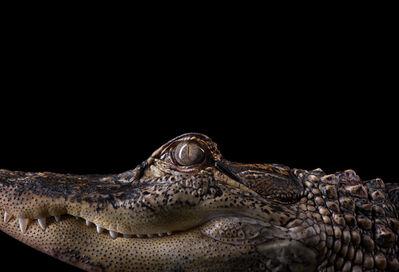 Brad Wilson, 'Alligator #2, Los Angeles, CA', 2011