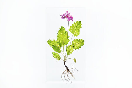 Azuma Makoto, 'Block Flower Five, Primula sieboldii', 2018