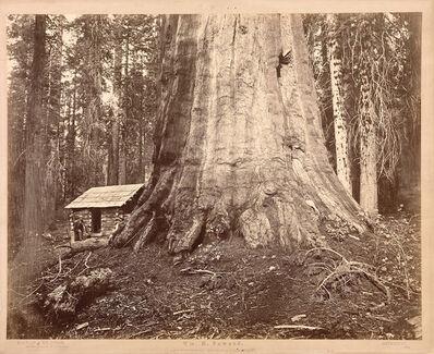 Eadweard Muybridge, 'Wm. H Seward, 85 Feet in Circumference. Mariposa Grove of Mammoth Trees, No. 51', 1872