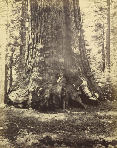Carleton E. Watkins, 'Section of the Grizzly Giant', 1865-1866