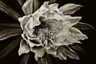 Barry Guthertz, 'Cactus Flower #3'
