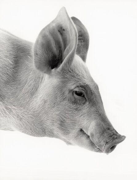 Walter Schels, 'Hog'