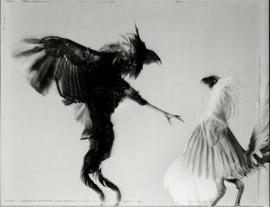 Hiro, 'Game Fowl (428-60), Maryland', 1988