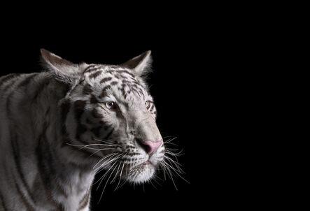 Brad Wilson, 'White Tiger #1, Los Angeles, CA ', 2011