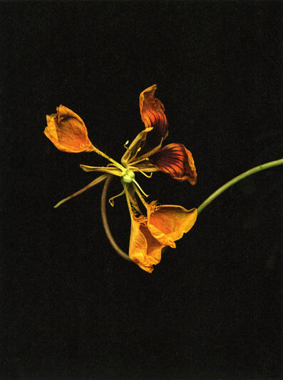 "Jitka Hanzlová, '""o.T. 2010 (Tropaeolummajus)"", from the series 'Flowers'', 2009"