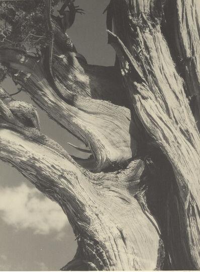 Ansel Adams, 'Juniper, Sierra Nevada, California', 1930