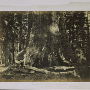 Carleton E. Watkins, 'Part of the Trunk of the Grizzly Giant with Clark - Mariposa Grove - 33 feet diameter', 1861