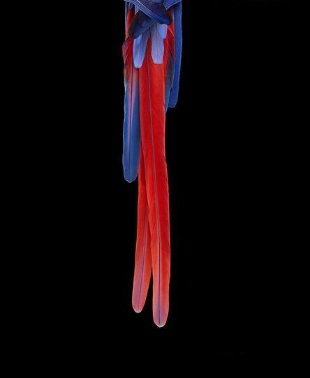 Brad Wilson, 'Scarlet Macaw #3, Albuquerque, NM, 2016', 2016
