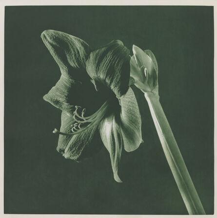 Robert Mapplethorpe, 'UNTITLED [AMARYLLIS].  FROM THE PORTFOLIO 'FLOWERS'', 1987