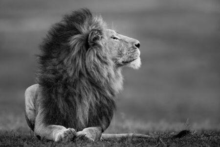 Paul Nicklen, 'Master of the Mara', 2017
