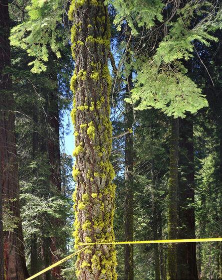 Karen Halverson, 'Giant Sequoia', 2002