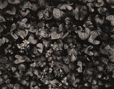 Nicholas Nixon, 'Untitled (Foliage)', 1970