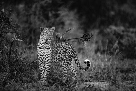 Griet Van Malderen, 'Leopard, Three River Queen, South Africa', 2019