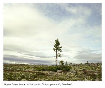 Rachel Sussman, 'Spruce Gran Picea #0909-11A07 (9,550 years old, Dalarna, Sweden)', 2009