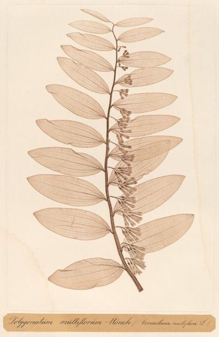 Constetin von Ettinghausen and Alois Pokorny, 'Polygonatum multiflorum Monch', 1856