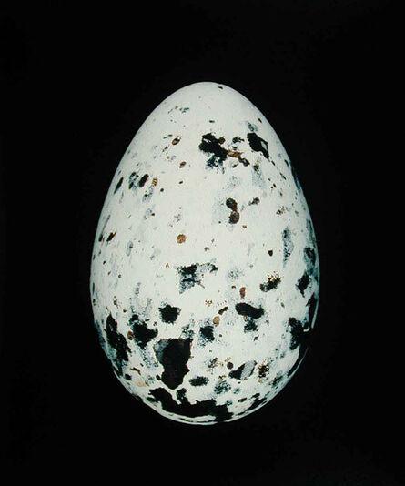 Thaddeus Holownia, 'Black-Headed Gull (larus ridibundus)', 2001