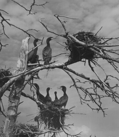 Ellen Auerbach, 'Cormorants, Maine', 1941