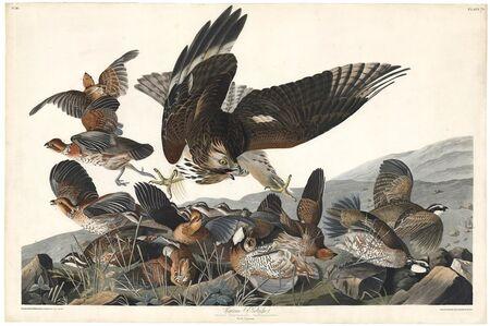 John James Audubon, 'Virginian Partridge.  Plate 76.', 1827-1838