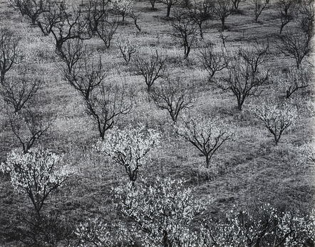 Ansel Adams, 'Orchard, Early Spring, near Stanford University, California', 1940