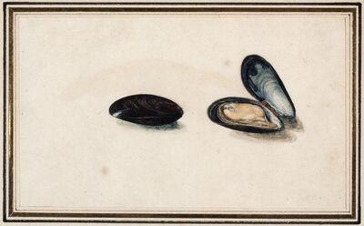 Master of the Arundel Sketchbook, 'A common edible Mussel (Mytilus edulis Linneaus)', ca. 1640