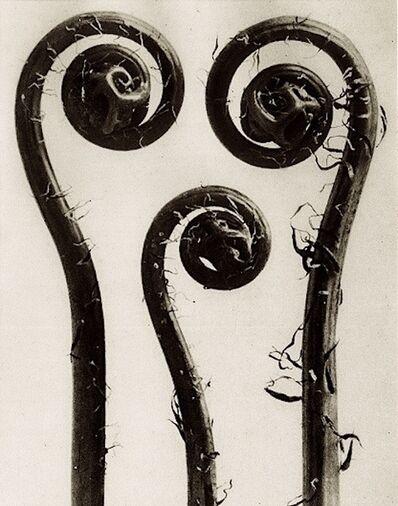 Karl Blossfeldt, 'Plate 8 - Adiantum pedatum '