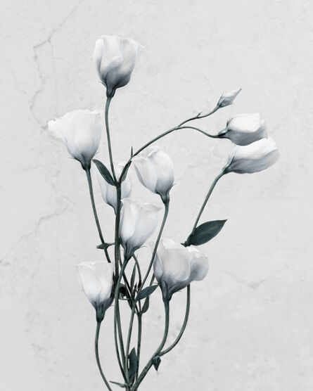 Vee Speers, 'Eustoma Grandiflorum', 2016