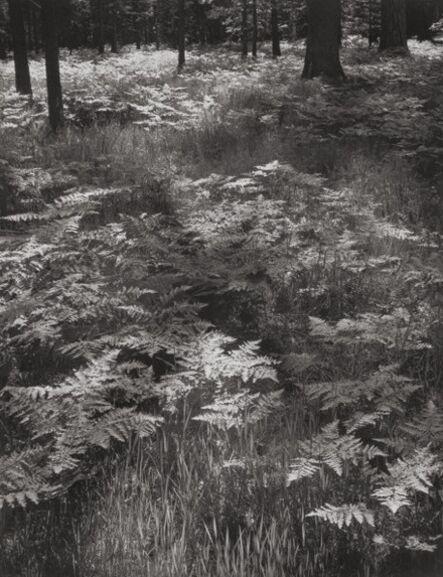 Ansel Adams, 'Ferns, Yosemite National Park, California', 1945