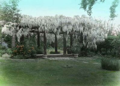 Portland Garden Club Collection, Org Lot 1353; Oregon Historical Society, 'Wisteria, Dr. and Mrs. Otis B. Wright City Garden; Box 1, Slide No. 19 ', 1920-1935