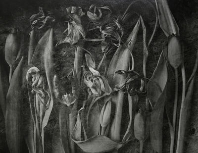 John Blakemore, 'Tulipa, The Generations No. 2', ca. 1980s