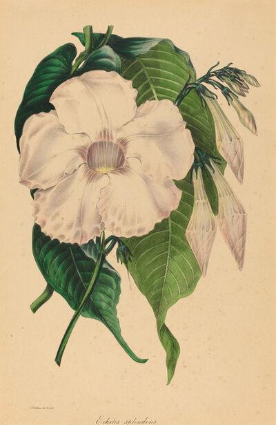 Samuel Holden, 'Echites splendens'