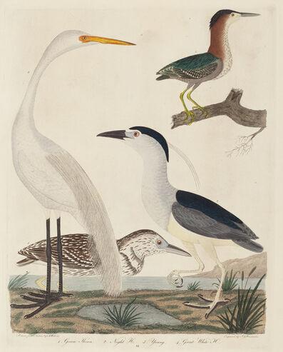 John G. Warnicke after Alexander Wilson, 'Green Heron, Night Heron, Young Heron, and Great White Heron', published 1808-1814
