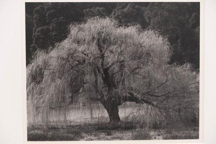 Edward Weston, 'Willow, Santa Cruz', 1933