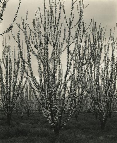 Sonya Noskowiak, 'Apple Blossoms', 1937