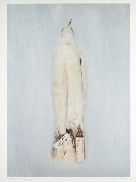 Brandon Ballengée, 'DP 20 No. 10 Lakka Fantail from Madras', 2003-2009