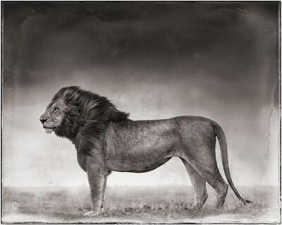 Nick Brandt, 'Portrait of Lion Standing in Wind, Maasai Mara, 2006', 2006