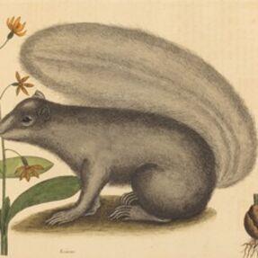 Mark Catesby, 'The Grey Fox Squirrel (Sciurus cinereus)', published 1731-1743