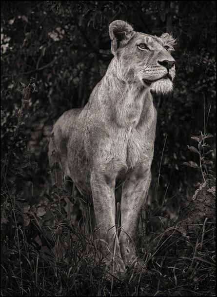 Nick Brandt, 'Lioness Against Dark Foliage, Serengeti', 2012