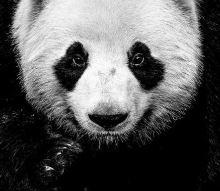 David Yarrow, 'Kung-Fu-Panda', 2020