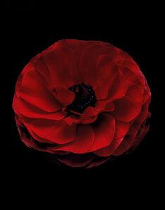Christopher Beane, 'Ranunculus Rojo Perfection', 2011