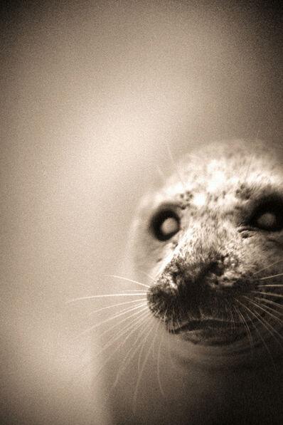 Henry Horenstein, 'Harbour Seal, Phoca Vitulina'