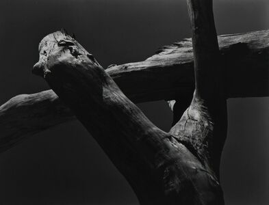 Cole Weston, 'Cotton Wood Stumps, Oklahoma', 1943