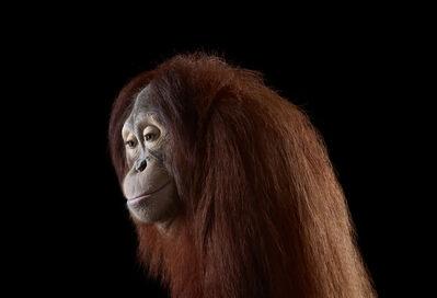Brad Wilson, 'Orangutan #6, Los Angeles, CA', 2011