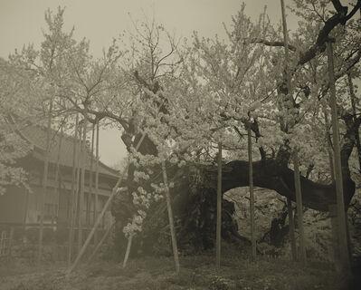 Keiichi Ito, 'Yamataka Shindaisakura_1', 2012