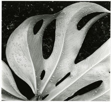 Brett Weston, 'Leaf and Rain Drops', 1979