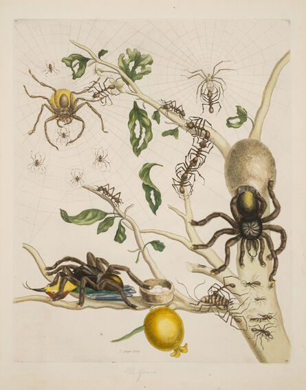 Maria Sibylla Merian, 'Plate 18 from Dissertation in Insect Generations and Metamorphosis in Surinam', 1719