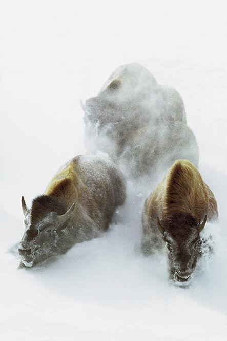 William Albert Allard, 'Buffalo in the Snow, Montana', 1966