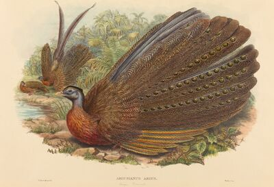 W. Hart, 'Argus Pheasant (Argusianus Argus)', published 1850-1883