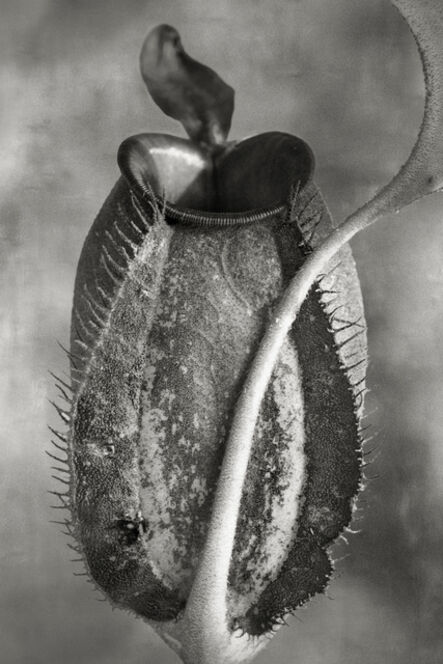 Beth Moon, 'Nepenthes Tomoriana'