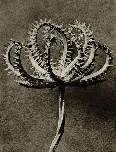 Karl Blossfeldt, 'Plate 53 - Koelpinia linearis (Compositae) seed head '