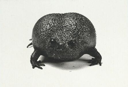 Susan Middleton, 'Plain Rain Frog', 2008